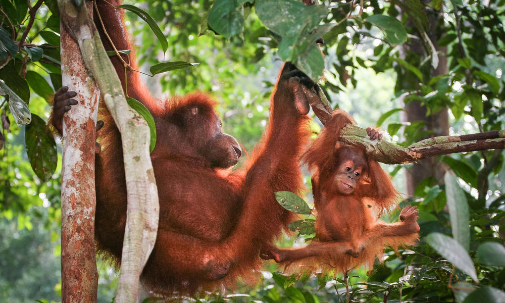 Orangutan_mother_climb_with_youngster